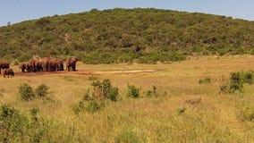 Słonie Południowa Afryka zbiory