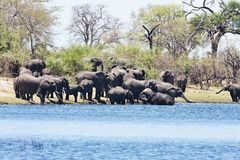 Słonie przy waterhole podkową w Bwabwata parku narodowym, Namibia Fotografia Stock
