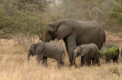 słonie rodzinni Zdjęcia Royalty Free