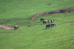 Słonie rodzinni na Afrykańskiej sawannie Safari w Amboseli, Kenja, Obraz Royalty Free