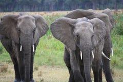 Słonie w drodze zdjęcia stock