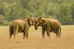 Słonie w miłości Fotografia Royalty Free
