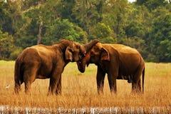 Słonie w miłości Obraz Royalty Free