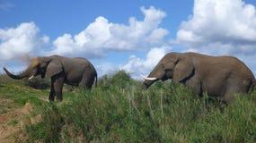Słonie w południe - afrykański krzak Fotografia Royalty Free