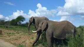 Słonie w południe - afrykański krzak Obrazy Stock