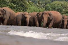 Słonie w rzece Obrazy Royalty Free