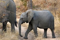 Słonie w Sabi piaskach, Południowa Afryka Obrazy Royalty Free