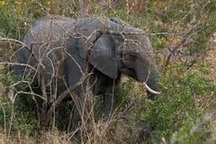 Słonie w Sabi piaskach, Południowa Afryka Zdjęcie Royalty Free