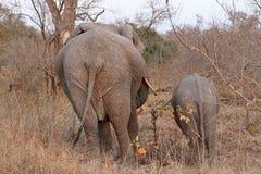 Słonie w Sabi piaskach, Południowa Afryka Fotografia Royalty Free