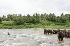 Słonie w Sri Lanka obrazy royalty free