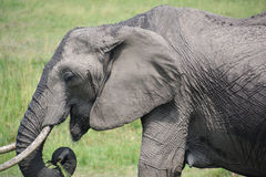 Słonie zamykają w górę łasowanie trawy Zdjęcie Royalty Free