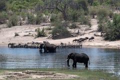 Słonie, zebry i wildebeest na Boteti rzece w Makgadikgadi, zdjęcia stock