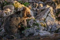 Słoweński brown niedźwiedź Obrazy Stock