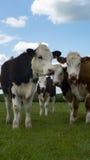 Słuchający krowy togeather Obrazy Stock