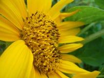 Słupkowie słoneczniki Obrazy Royalty Free