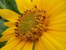Słupkowie słoneczniki Zdjęcia Stock