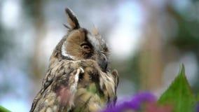 słysząca długa sowa zdjęcie wideo