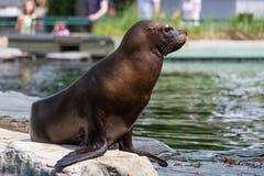 Słysząca foka lub otariid ssak na skale obraz stock