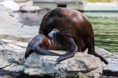 Słysząca foka lub otariid ssak na skale fotografia royalty free