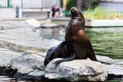 Słysząca foka lub otariid ssak na skale obrazy royalty free