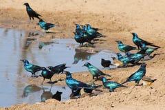 słyszącego i Glansowanego szpaczka - Błękitna i Purpurowa linia od Dzikiego Afryka Zdjęcie Royalty Free