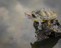 Słyszący żółw wspinał się z wody na kamieniu Trachem Obraz Royalty Free
