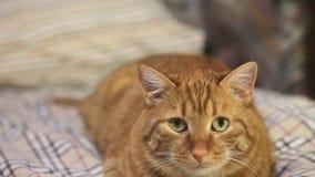 Słyszący Imbirowy kot zdjęcie wideo