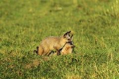 słyszący lisa Otocyon megalotis, Południowa Afryka Zdjęcie Stock