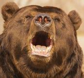 Słyszący niedźwiedź obraz royalty free