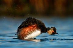 Słyszący perkoz - Podiceps nigricollis pływa w wodzie bierze skąpanie obrazy stock