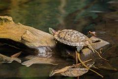 Słyszący suwak, słyszący terrapin żółw z czerwonym lampasem blisko Fotografia Stock