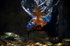 Słyszący zimorodek - samiec Zdjęcia Royalty Free