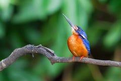 Słyszący zimorodek (samiec) Fotografia Royalty Free