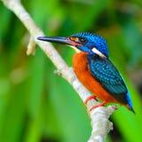 Słyszący zimorodka ptak Obrazy Royalty Free