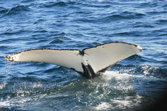 s尾标鲸鱼 库存图片