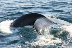 s尾标鲸鱼 免版税库存图片