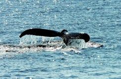 s尾标鲸鱼 图库摄影