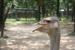 Head of Ostrich stock images