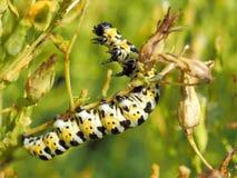 S'élevant vers le haut de Caterpillar jaune et noir et blanc Photographie stock libre de droits