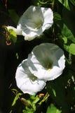 S'élever blanc de fleur sauvage Images libres de droits