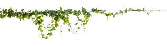 S'élever de cep de vigne d'isolement sur le fond blanc images stock