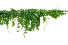 S'élever de cep de vigne d'isolement sur le fond blanc Chemin de coupure images stock