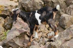 S'élever de chèvres de bébé image stock