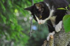 S'élever de chaton Image libre de droits