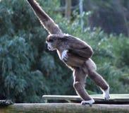 S'élever de gibbon de Lar images stock