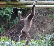 S'élever de gibbon de Lar photographie stock libre de droits