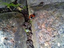 S'élever de Ladybird photographie stock