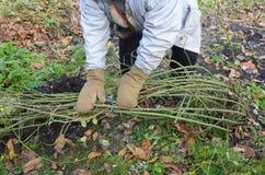 S'élever de monticule et de lien de jardinier rosier Protection d'hiver pour photos libres de droits