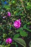 S'élever rose a monté Photos libres de droits