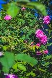 S'élever rose a monté Photographie stock